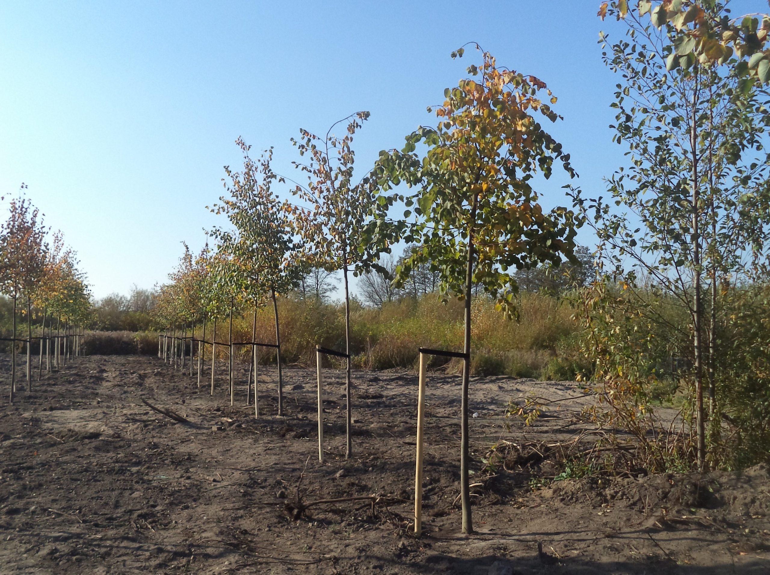Zakup sadzonek drzew miododajnych