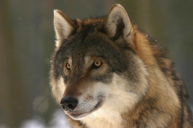 Procedury postępowania w sytuacji konfliktu człowiek – wilk.